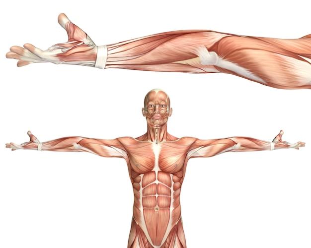 Figura 3d médica mostrando supinação de cotovelo Foto gratuita