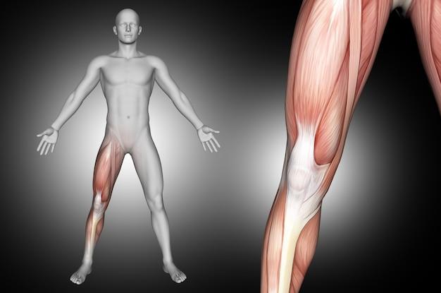 Figura médica masculina com os músculos do joelho destacados Foto gratuita
