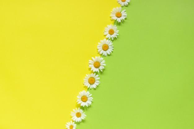 Fila chamomiles margaridas flores sobre fundo amarelo e verde modelo para o texto ou o seu design Foto Premium
