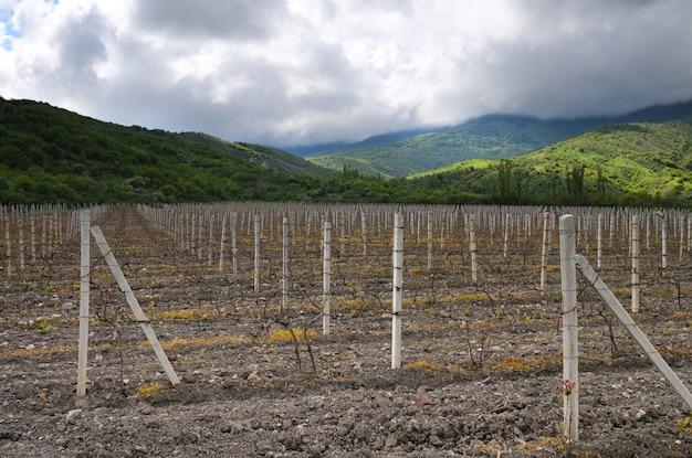 Fileiras de uvas na baixa temporada, vinhedos na crimeia entre colinas, céu nublado e grama verde Foto Premium