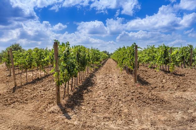 Fileiras longas de um vinhedo em toscânia, itália. Foto Premium
