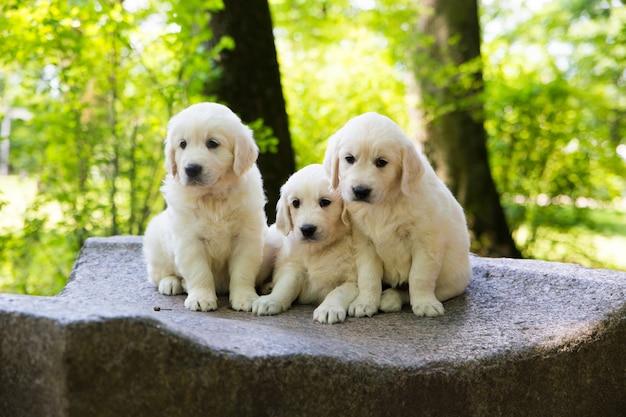 Filhote cachorro, retriever dourado, filhote cachorro, posar, ao ar livre Foto Premium