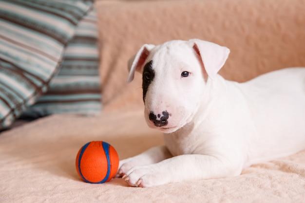 Filhote de bull terrier branco sentado no sofá Foto Premium