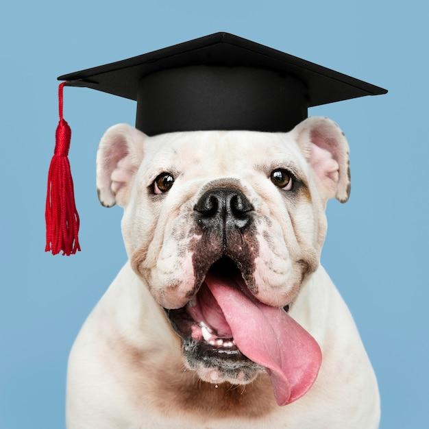 Filhote de bulldog inglês branco bonito em um chapéu de formatura Foto gratuita