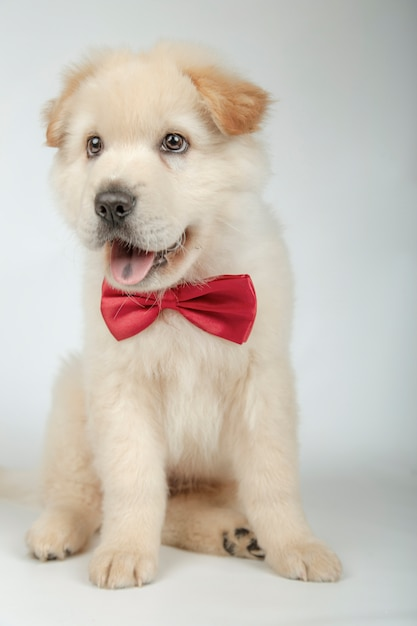Filhote de cachorro adorável com gravata borboleta Foto Premium