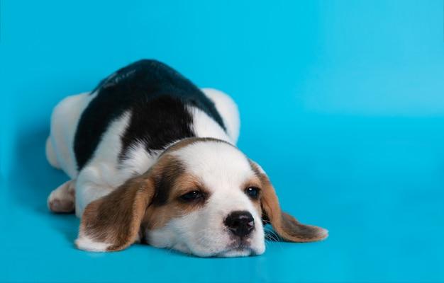 Filhote de cachorro beagle dormindo em fundo azul Foto gratuita