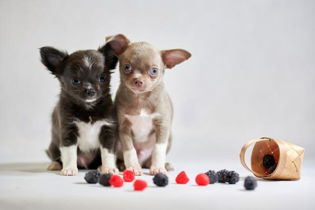 Filhote de cachorro bonito de dois cães da chihuahua. cachorrinhos engraçados. preparando-se para uma exposição de cães Foto Premium