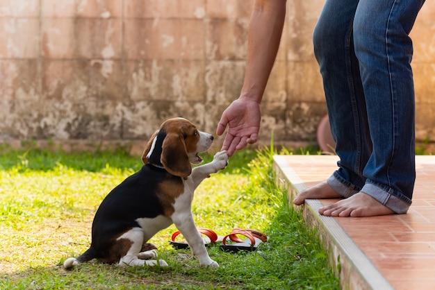 Filhote de cachorro bonito do lebreiro que joga com proprietário Foto Premium