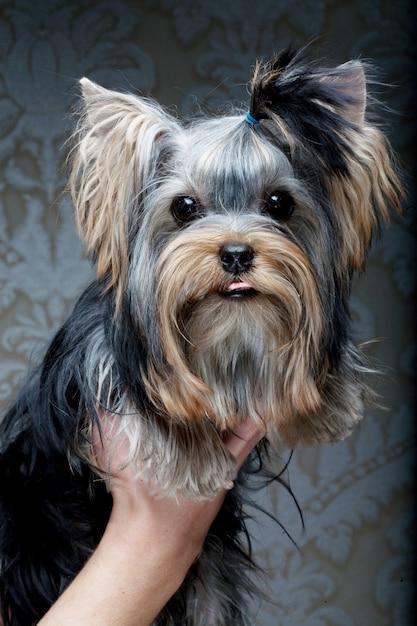 Filhote de cachorro bonito yorkshire terrier Foto Premium