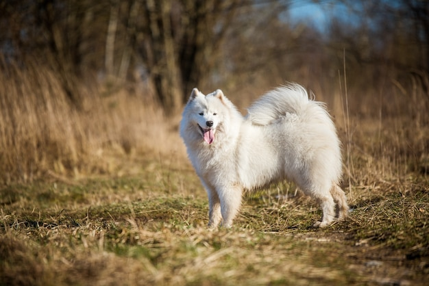 Filhote de cachorro branco fofo samoyed está passeando no parque perto do rio lagoa na primavera natureza na grama seca Foto Premium