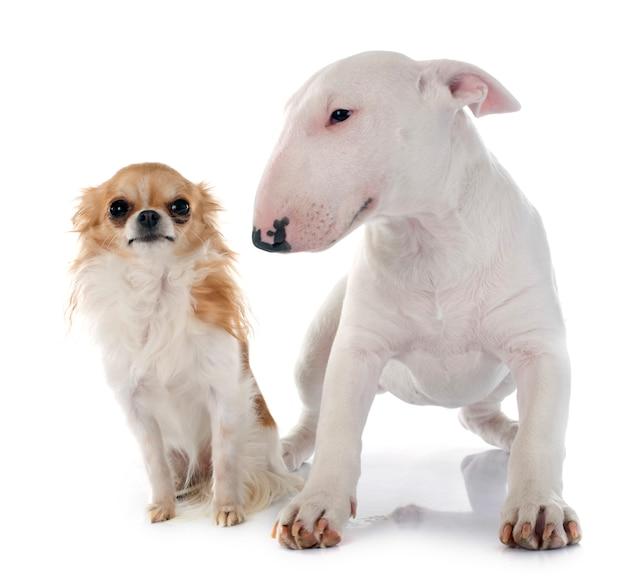 Filhote de cachorro bull terrier e cachorro chihuahua Foto Premium