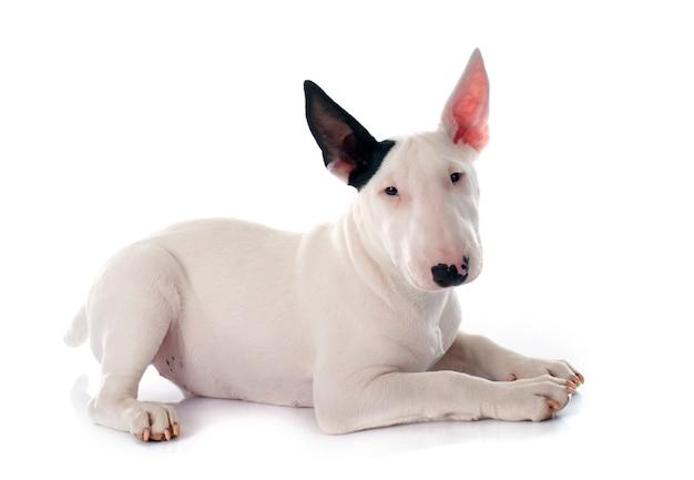 Filhote de cachorro bull terrier Foto Premium