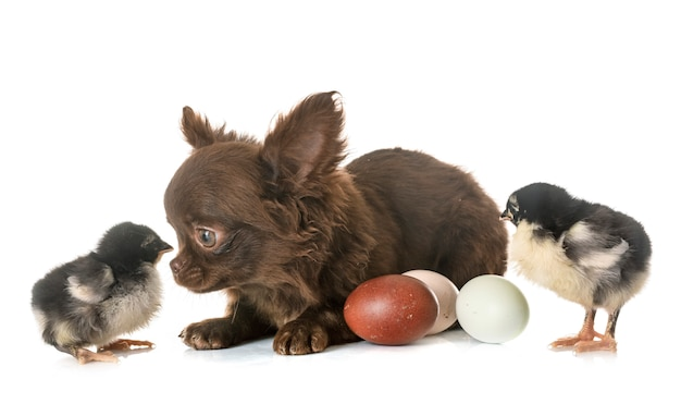 Filhote de cachorro chihuahua e filhotes Foto Premium