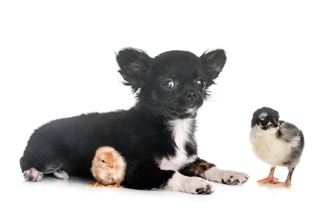 Filhote de cachorro chihuahua e pintinho Foto Premium