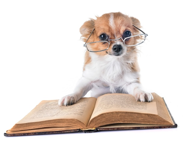 Filhote de cachorro chihuahua na escola Foto Premium