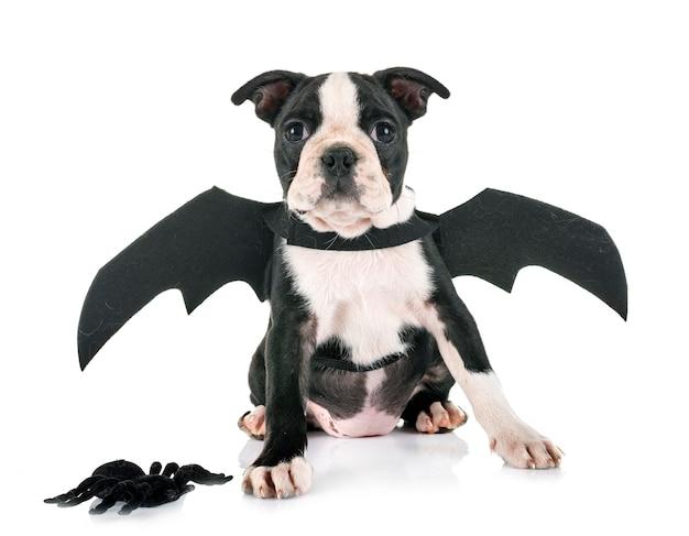 Filhote de cachorro do bastão boston terrier Foto Premium
