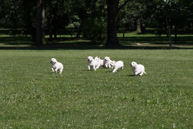 Filhote de cachorro golden retriever filhotes correndo ao redor do prado Foto Premium