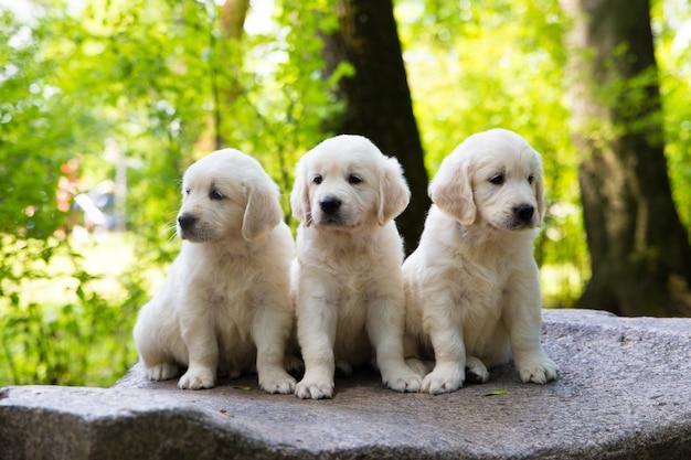 Filhote de cachorro golden retriever posando ao ar livre Foto Premium