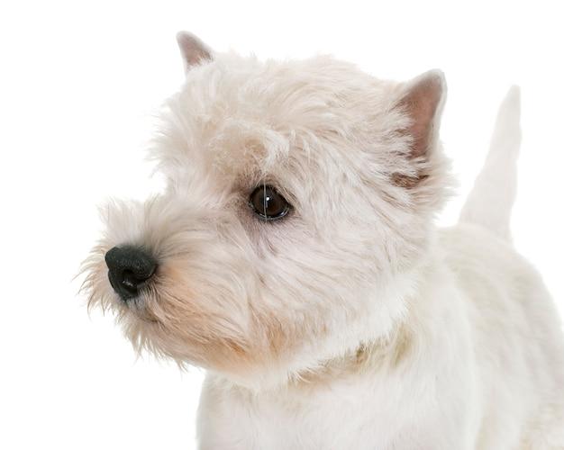 Filhote de cachorro highland west terrier branco Foto Premium