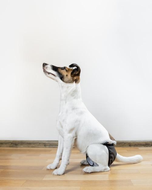 Filhote de cachorro inteligente bonito na fralda lavável senta-se no chão. cão fox terrier liso na fralda lavável, sentado em uma sala. Foto Premium