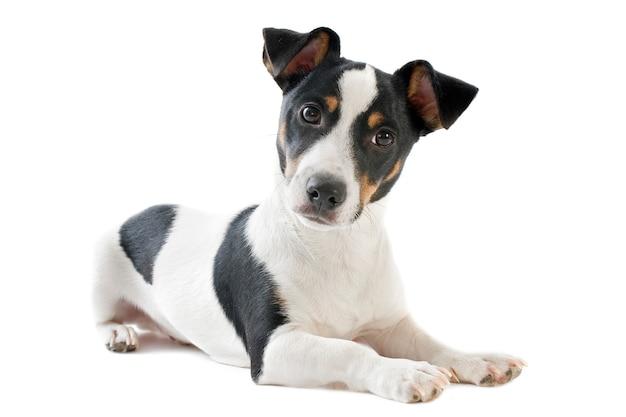 Jack terrier russel preto com branco deitado em fundo branco cães de caça