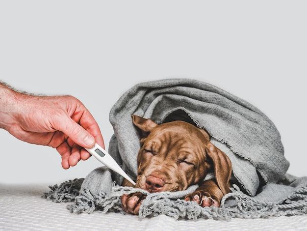 Filhote de cachorro jovem, embrulhado em um lenço cinza Foto Premium