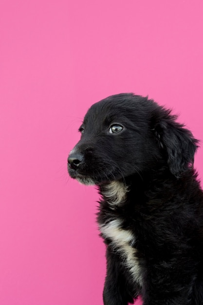 Filhote de cachorro preto de vista lateral em fundo rosa Foto gratuita