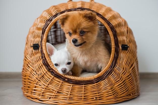 Filhote de chihuahua com filhote de cachorro pomeranian relaxante dentro da casa de cachorro de vime Foto Premium