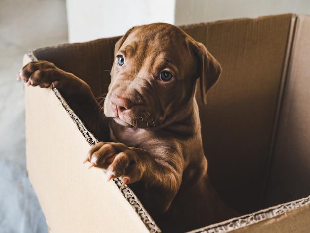 Filhote de cor chocolate em uma caixa Foto Premium