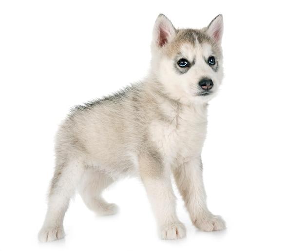 Filhote de husky siberiano Foto Premium