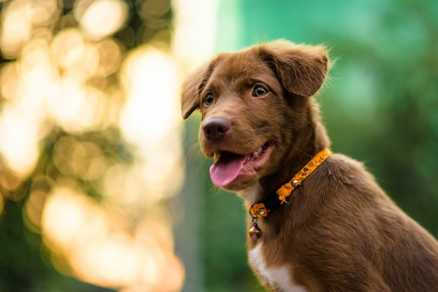 Filhote de labrador com bokeh do sol de folhagem Foto Premium