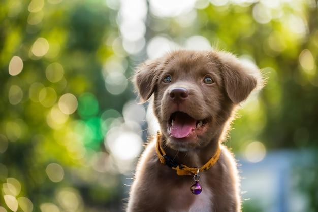 Filhote de labrador retriever com bokeh natural Foto Premium