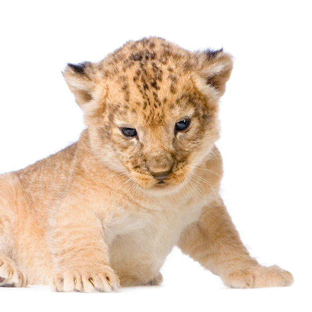 Filhote de leão (3 semanas) deitado isolado. Foto Premium
