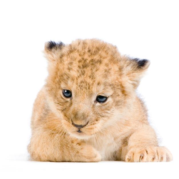 Filhote de leão deitado isolado. Foto Premium