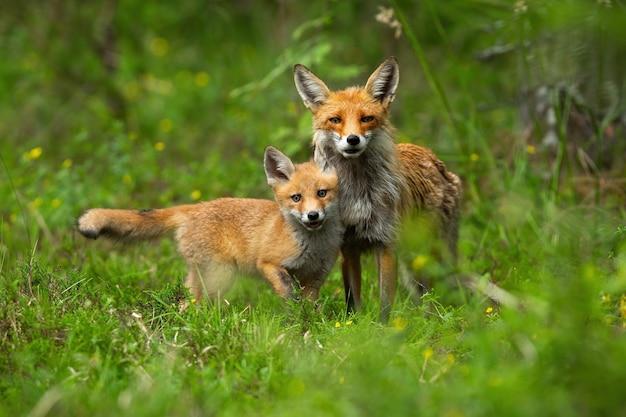 Filhote de raposa vermelha jovem acariciando sua mãe na primavera natureza. Foto Premium