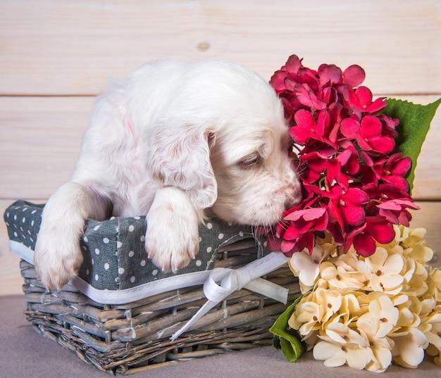 Filhote de setter inglês em uma cesta de madeira com flores Foto Premium