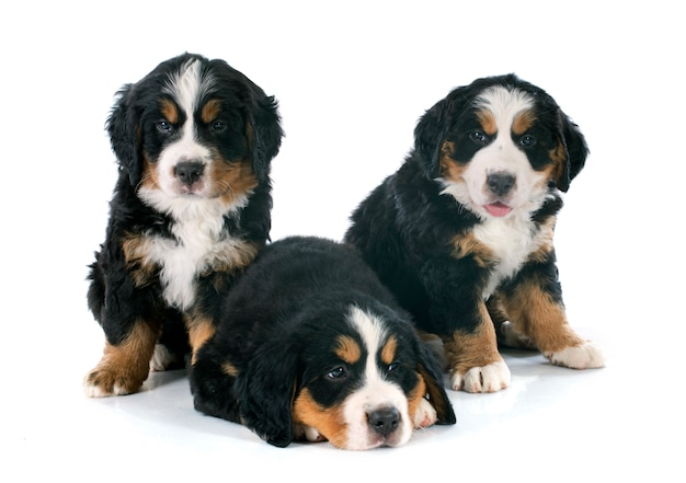 Filhotes bernese moutain cão Foto Premium