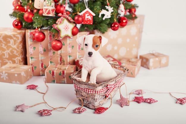 Filhotes de cachorro jack russell terrier no interior de ano novo Foto Premium