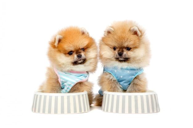 Filhotes de cachorro pomeranian bonitos estão sentados na tigela com comida Foto Premium