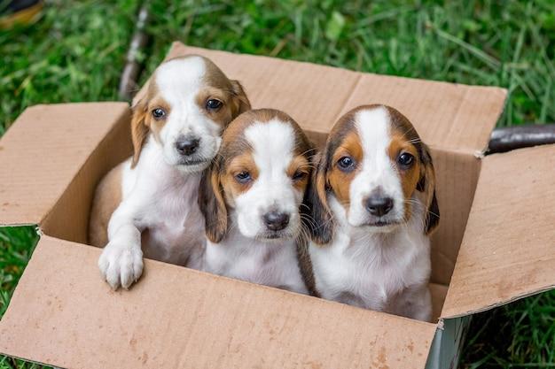 Filhotes de cachorro puro-sangue são cães estonianos em uma caixa de papelão. venda de cães jovens Foto Premium