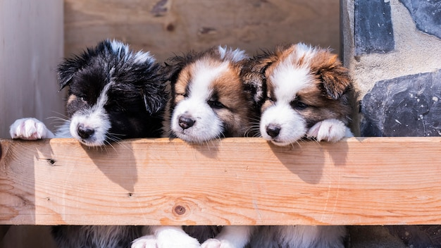 Filhotes de cachorro tailandês bangkaew Foto Premium