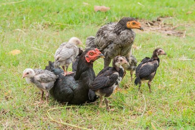 Filhotes ficam na parte de trás da galinha. e a natureza verde da manhã. com família calorosa Foto Premium