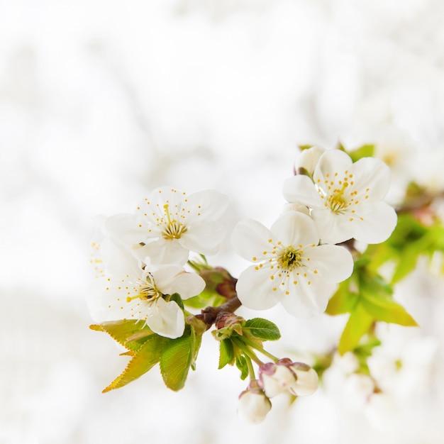 Filial de cereja Foto gratuita