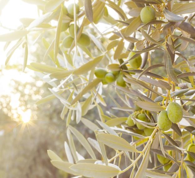 Filial de oliveira Foto gratuita