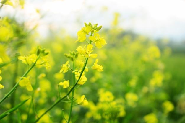 Fim, cima, amarela, brassica, napus, flor Foto Premium