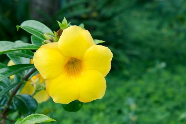 Fim, cima, de, sino amarelo, (allamanda, cathartica, l.), flores Foto Premium