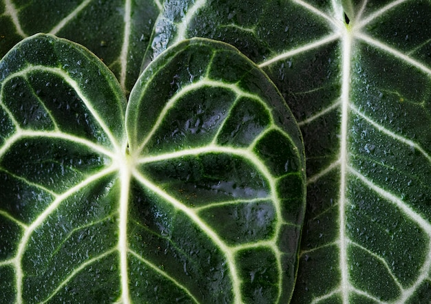 Fim, cima, xanthosoma, folhas Foto gratuita
