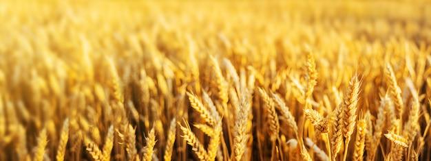 Fim dourado do trigo das orelhas do campo de trigo. papel de parede. Foto Premium