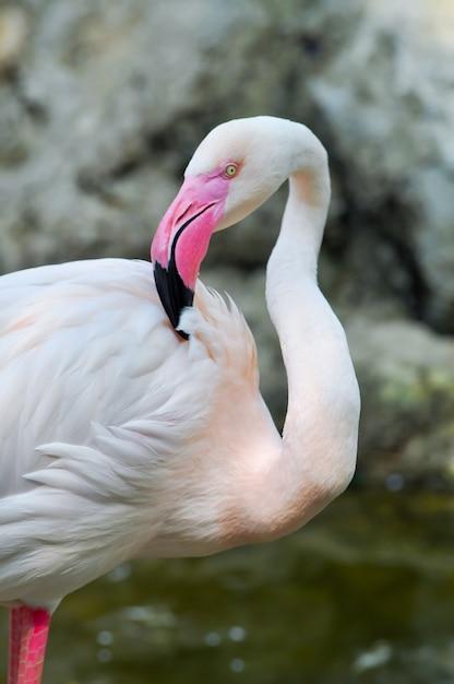 Flamingo maior Foto Premium