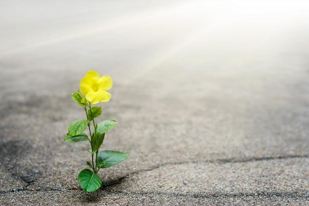 Flor amarela crescendo na rua de crack, conceito de esperança Foto Premium